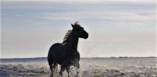 cavallo malta